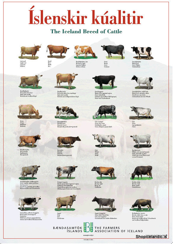 - Icelandic The Iceland Breed of Cattle - Poster (S) - Poster - Nordic Store Icelandic Wool Sweaters