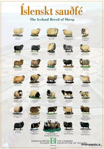 - Icelandic The Iceland Breed of Sheep - Poster (S) - Poster - Nordic Store Icelandic Wool Sweaters
