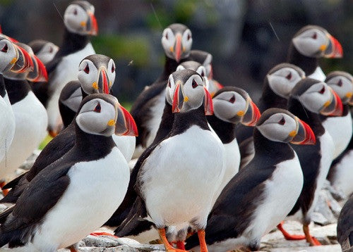 - Icelandic The Puffin - Jigsaw Puzzle (500pcs) - Puzzle - Nordic Store Icelandic Wool Sweaters