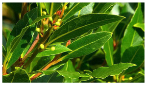 Oil of the Month – October: Bay Leaf Oil