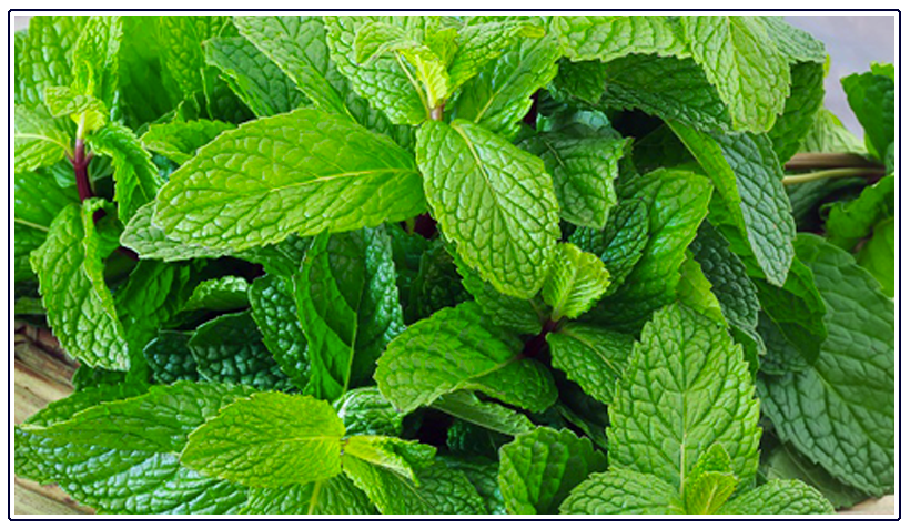 Our Essential Oil of the Month, February 2019: Spearmint Leaf Oil