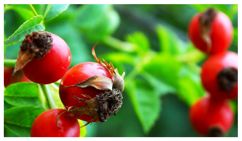 Oil of the Month – April: Rosehip Seed Oil