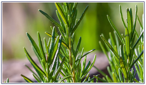 Essential Oil of the Month – March: Rosemary Leaf Oil