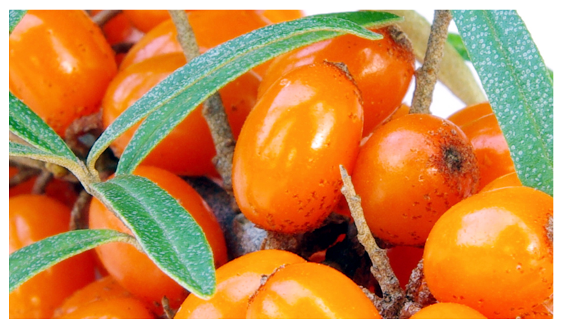 Essential Oil of the Month – June: Sea buckthorn Oil (Hippophae rhamnoides Fruit Oil)