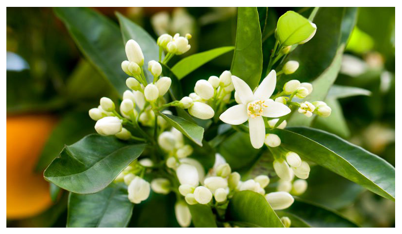 Essential Oil of the Month – May: Neroli Oil