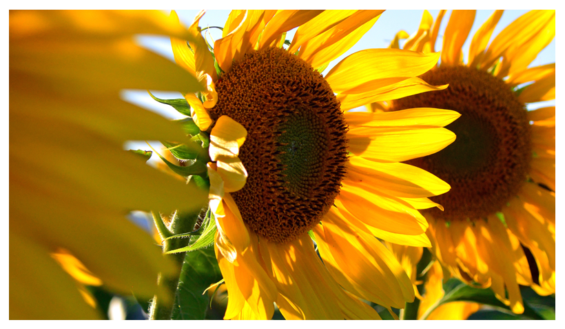 Oil of the Month – November: Sunflower Seed Oil (Helianthus annuus seed oil)