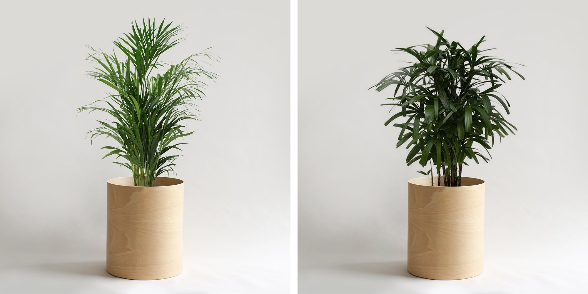 Arecia Palm and Lady Palm are both efficient for cleansing indoor air.