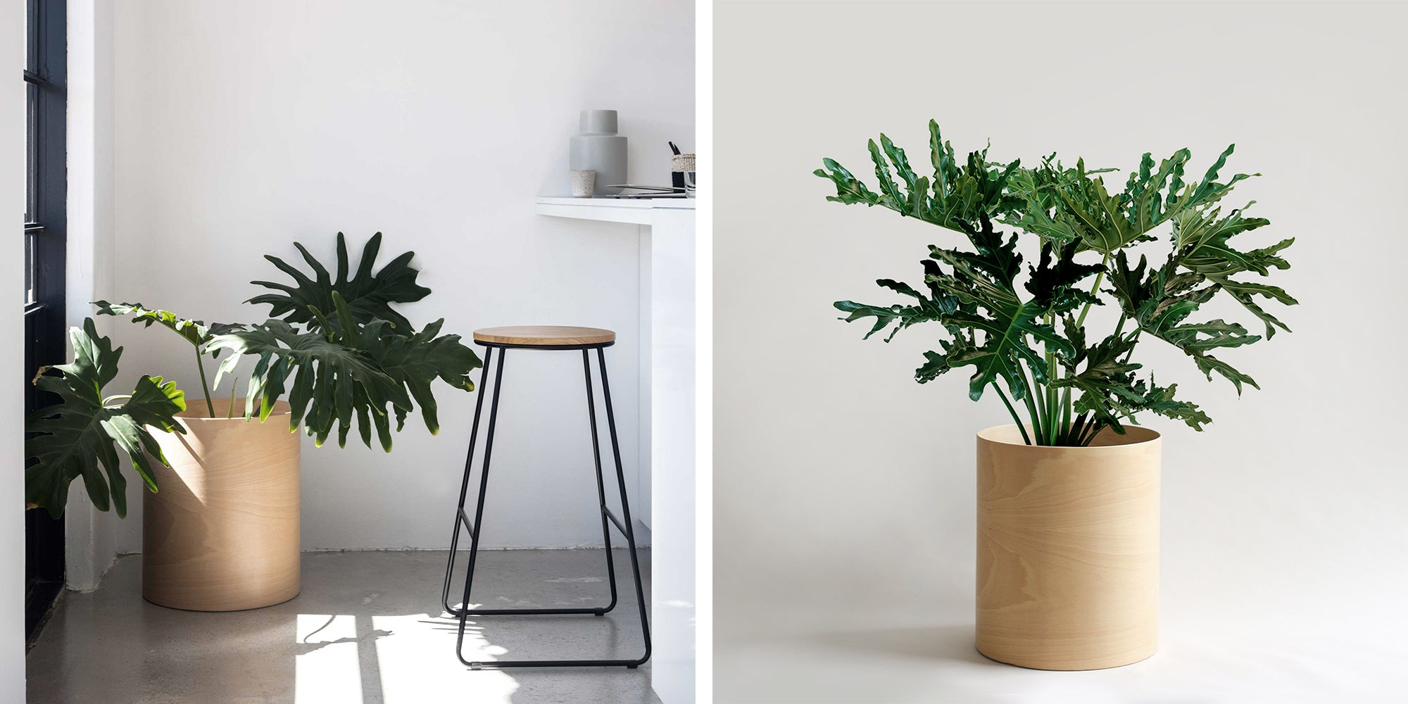 Philodendron indoor plant in Blonde Plywood Planter
