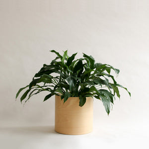 Flor Planter for Indoor Plants with Peace LIly