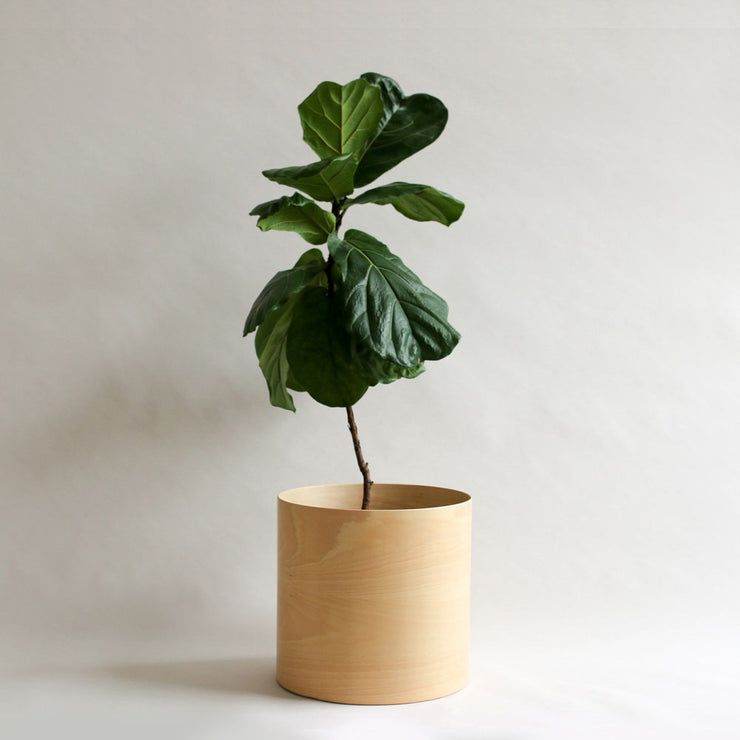 flor planter for indoor plants with fiddle leaf fig
