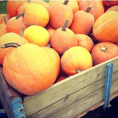 Pumpkins at McGlasson Farms