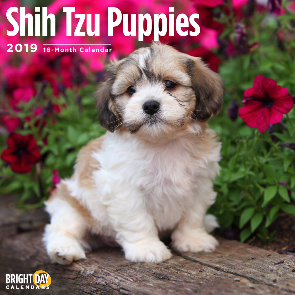 Shih Tzu Puppies 2019 Wall Calendar