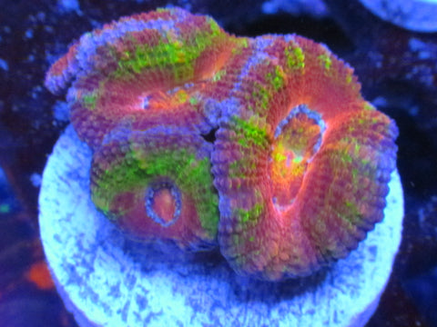 Rainbow Acan Frag Yellow Acanthastrea Saltwater Coral
