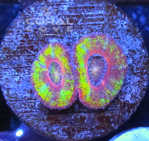 Acan Frag Rainbow - Live Coral For Sale - WYSIWYG