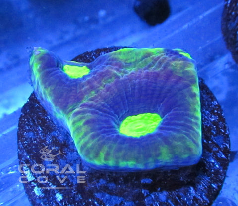 Dragon Soul Favia Coral Frag WYSIWYG - Live Coral For Sale