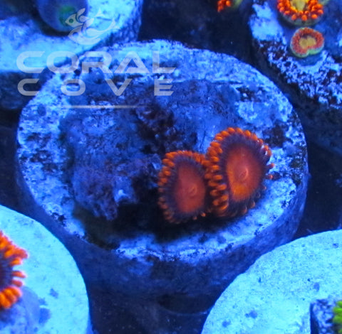 Bam Bam Zoa Zoanthid Frag Live Coral Saltwater