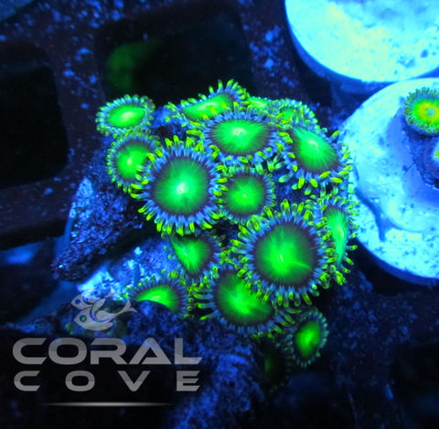 Zoa Frag Green Radioactive Dragon Eyes Zoanthid