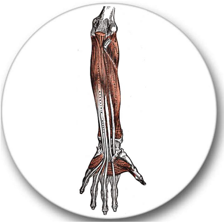 Forearm Anatomy Sticker Seals No.483