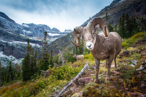 Goat on a landscape photo.