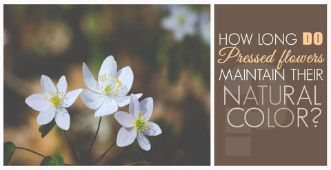 How long do pressed flowers maintain their natural color?