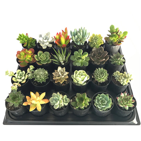 24 Mixed Individual Succulent Plants