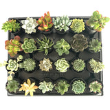 Mixed Individual Succulent Plants 50mm Tubes