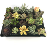 Mixed Individual Succulent Plants 66mm Squares