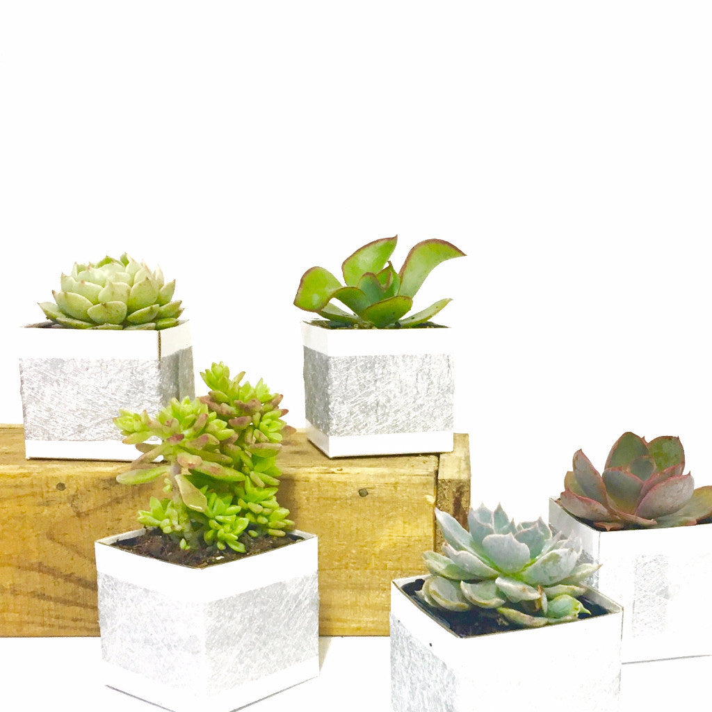 Mini Boxed Succulents