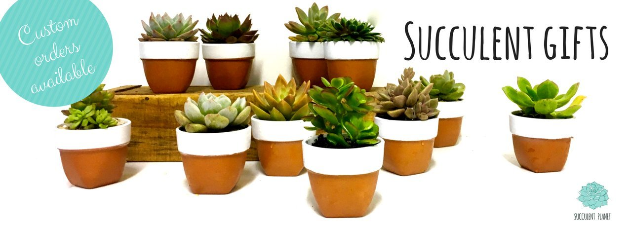 https://www.succulentplanet.com.au/collections/corporate-gifts/products/potted-succulent-wedding-favours-and-bombonieres