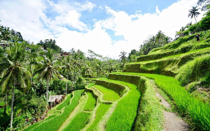 Across beautiful verdant terraced rice field at Ubud