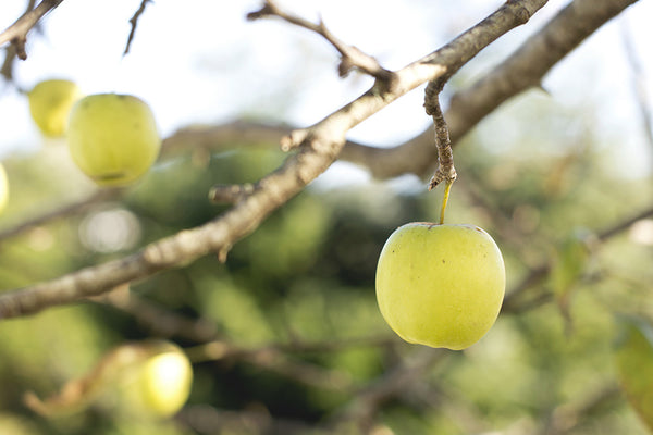 Photo of green apples on a tree