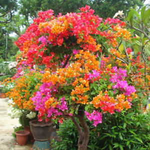 100x Multicolor Bougainvillea Speetabilis Seeds DIY Home Garden Flower Plant DIY