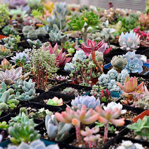 160x Mixed Succulent Seeds Lithops Rare Living Stones Plants Cactus Home PlantWF