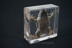Real Toad Specimens In Clear Lucite Block educational Instrument Specimens
