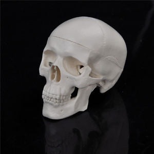 Teaching Mini Skull Human Anatomical Anatomy Head Medical Model Convenient QW