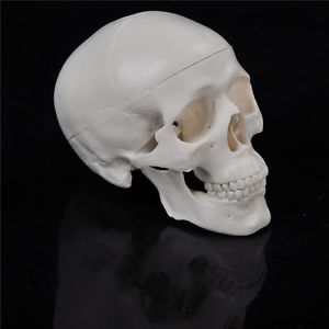 Teaching Mini Skull Human Anatomical Anatomy Head Medical Model Convenient KK