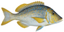 Spangled Emperor Fillets Skin Off 240g+/- Noosa Seafoods - WILD CAUGHT - FROZEN