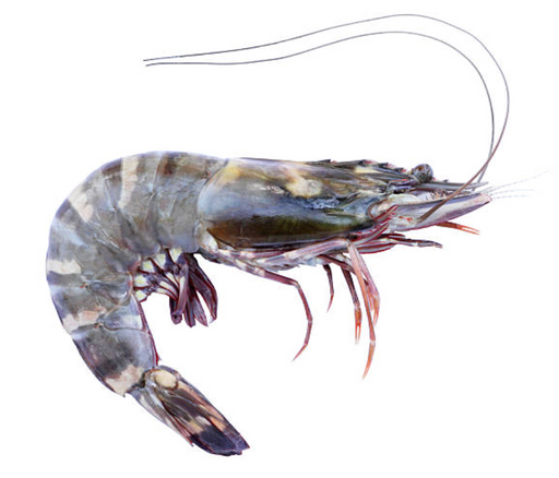 Australian Tiger Prawns (Raw) - Noosa Seafood Market - FROZEN - The Fishwives Singapore