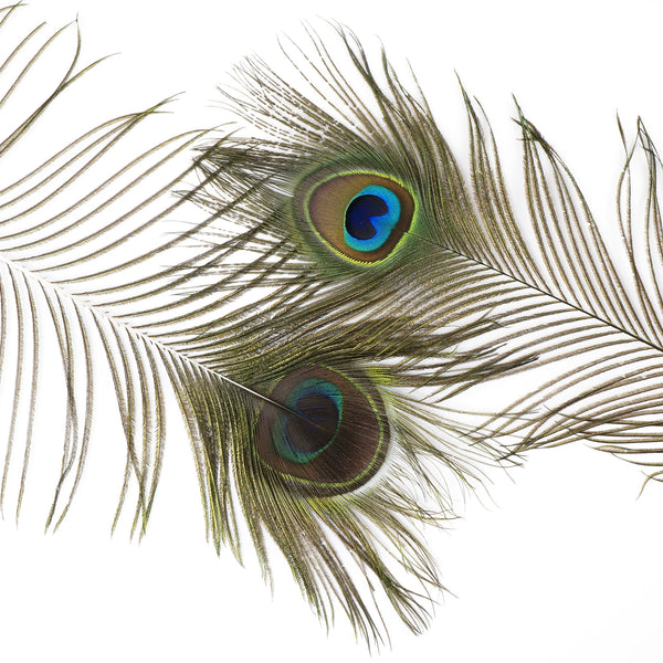 Packaged Peacock Feathers Natural