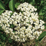 American Elderberry Bush