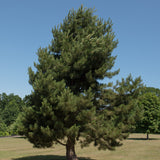 Scotch Pine Austrian Strain (2 Pack)