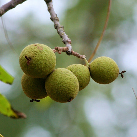 Carpathian English Walnut Tree