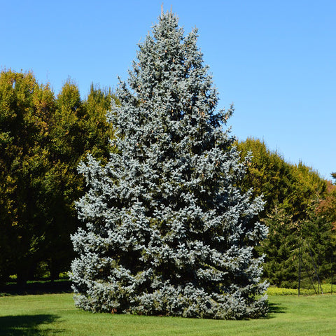 Colorado Blue Spruce Tree (Jumbo)