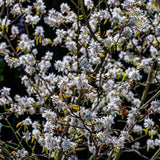 Downy Serviceberry Tree