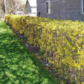 Forsythia Lynwood Gold Shrub
