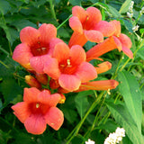 Hummingbird Vine (2-Pack)