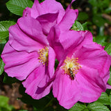 Japanese Rugosa Rose