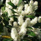 Northern Bayberry Bush (Pack of 2)