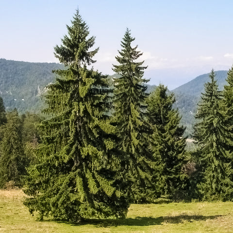 Norway Spruce Tree (Jumbo)