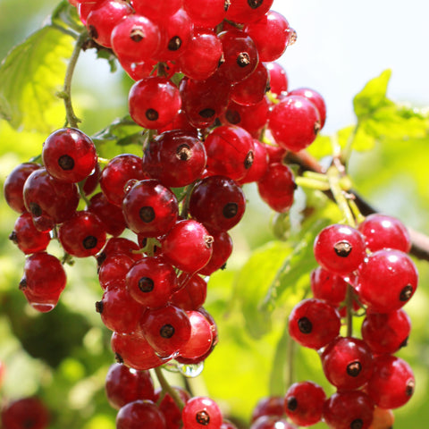 Red Currant Bush